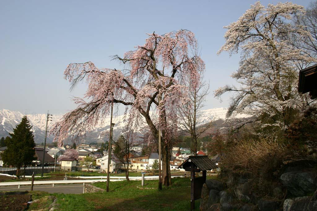 14信州の桜