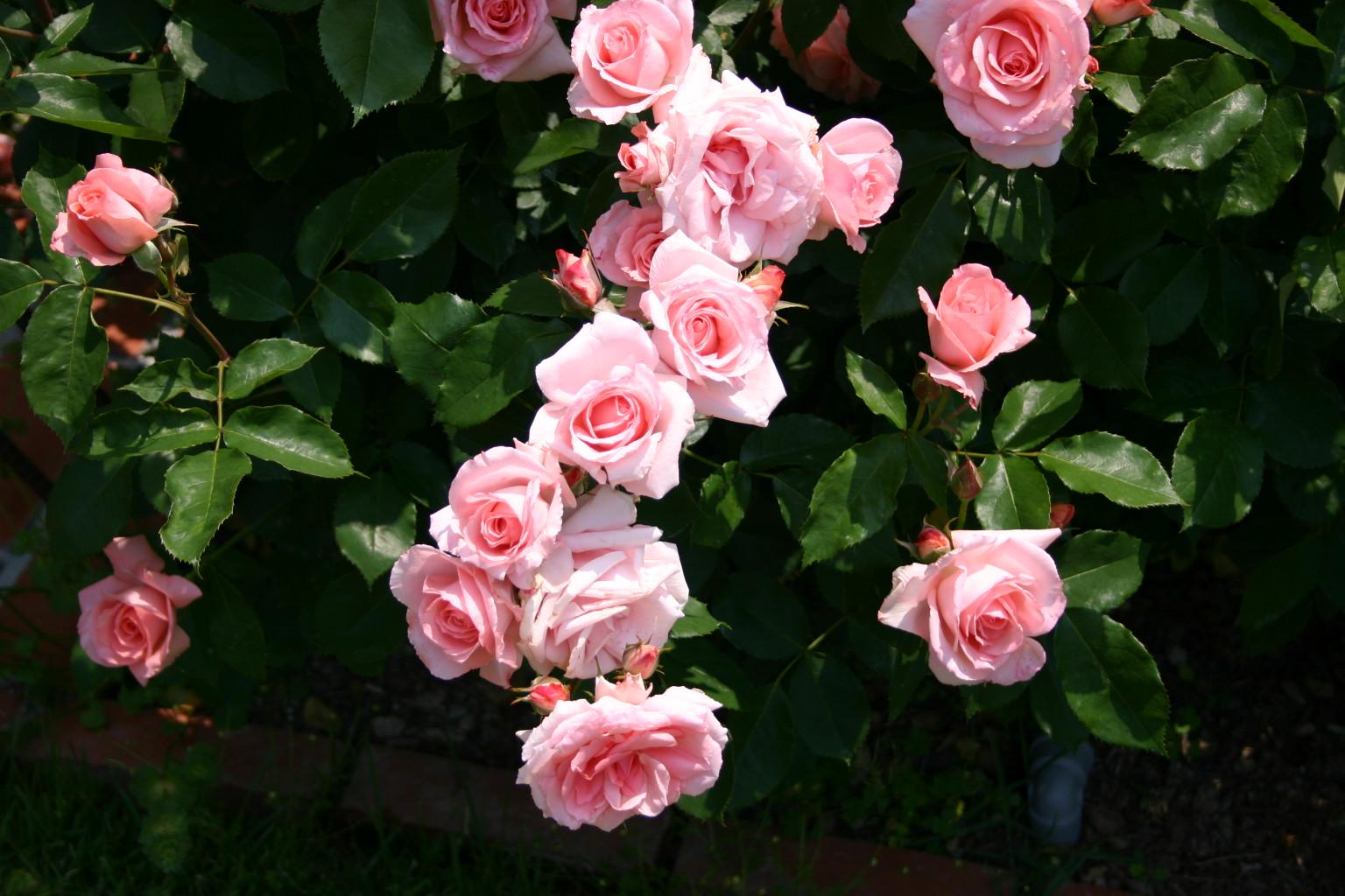 66捧げるバラ