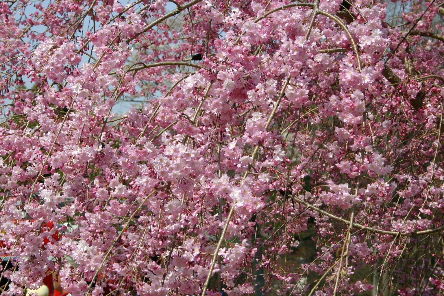 63しだれ桜