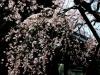 61弘川寺の枝垂桜
