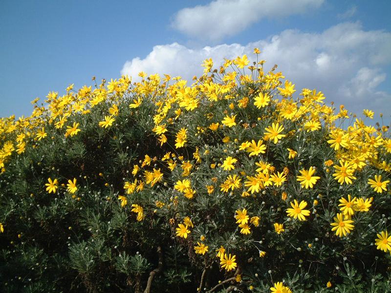 094wild-chrysanthemum_in_yodo-river