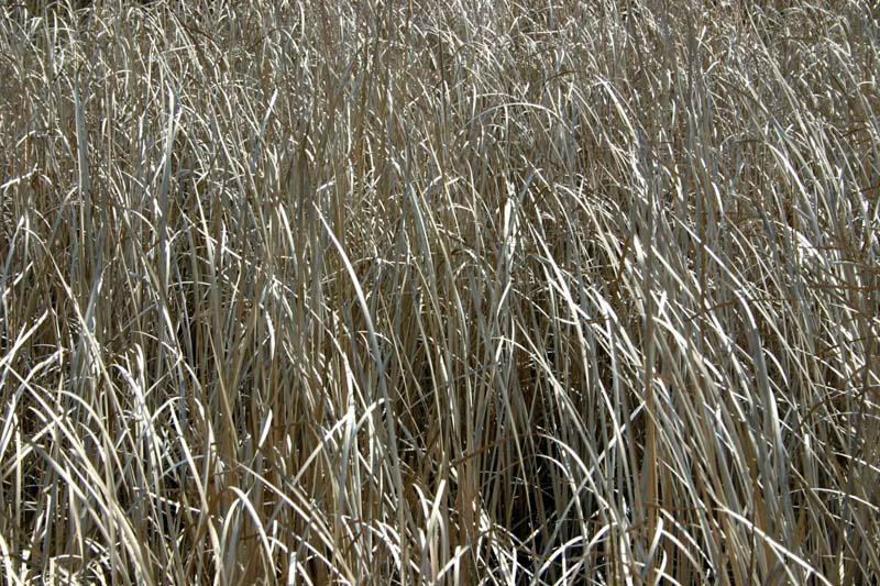 095reed-shinning-silver